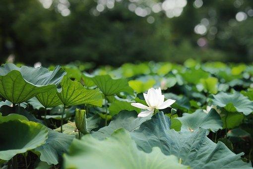 Lotus, Plant, Hawthorn, Pond
