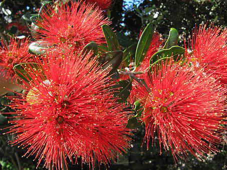 New Zealand, Christmas Tree, Pohutukawa, Flowers