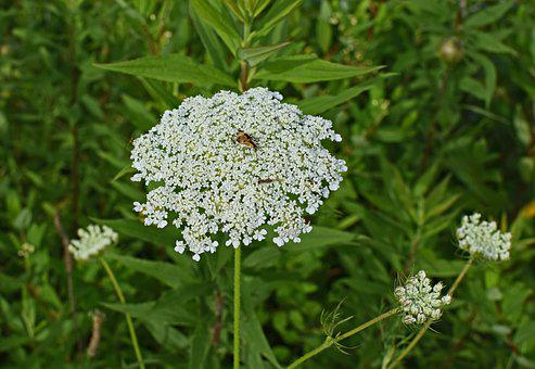 Queen Anne's Lace With Insect, Goldenrod Soldier Beetle