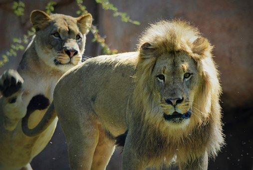 Lioness, Lion, Safari Park, San Diego