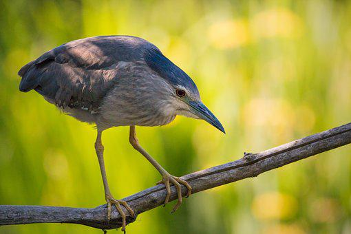 Night Heron, Branch, Sitting, Nature Reserve, Nature