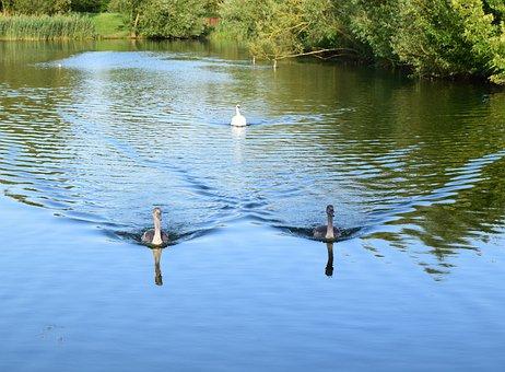 Lodge Lake, Milton Keynes, Swans, Cygnets, Lake, Water