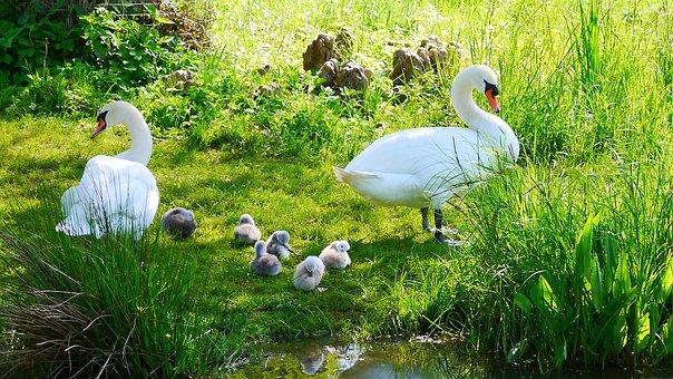 Swans, Water Bird, Ducks, Poultry, Chicken