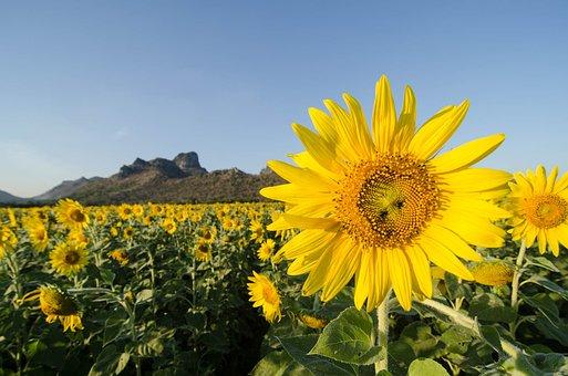 Sun Flower, Khao Chin Lae, Lop Buri, Thailand