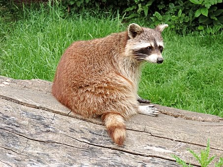 Raccoon, Small Bear, Wild Animal, Mammal, Medium, Furry