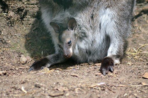 Kangaroo, Young, Zoo