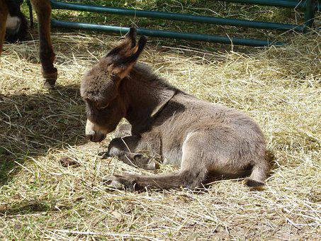Donkey, Baby Donkey, Foal, Cute, Animal, Baby, Domestic