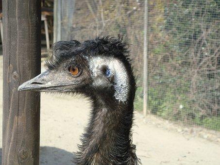 Ostrich, Bird, Animal