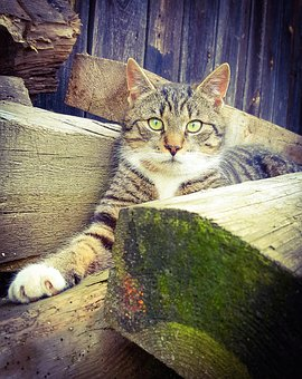 Cat, Portrait, Wood, Nature, Predator, Fur, Animal