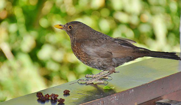 Blackbird, Bird, Birds, Black, Black-brown, Female