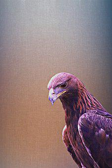Golden Eagle, Eagle, Bird, Nature, Wildlife, Animal