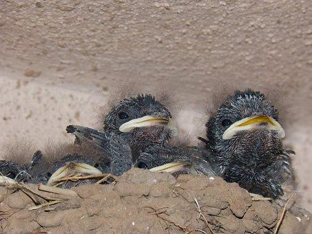 Chicks, Birds, Nest, Swallows, Hirundo Rustica