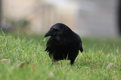 Crow, Worm, Corvus, Bird, Black, Nature, Grass, Animal