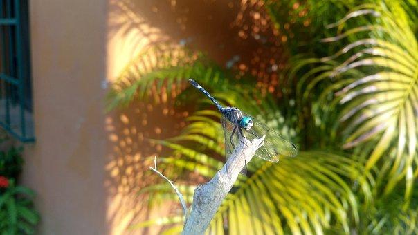 Dragonfly, Dragon-fly, Libelula Blue