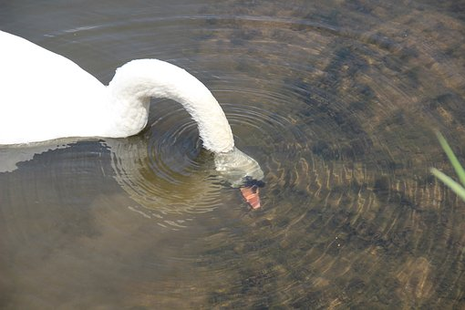 Swan, Head, Immersion, Water Bird, Eat, Diving, Water