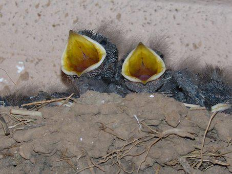Birds, Chicks, Nest, Hyip, Food, Hunger, Protest