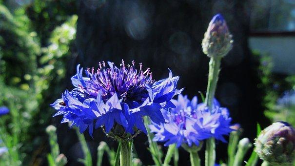 Bachelor Button, Blue Flower, Garden, Blossom, Nature