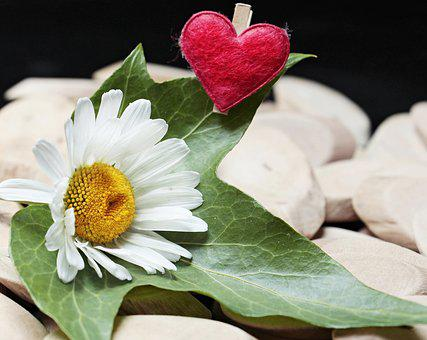 Marguerite, Heart, Wood, Ivy, Blossom, Bloom, Symbol
