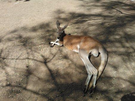 Kangaroo, Australia, Tired Of, Zoo, Animal, It Lies
