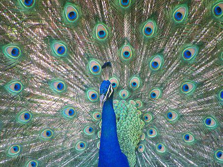 Bird, Peacock, Colors, Tail, Pen, Feather, Blue, Male