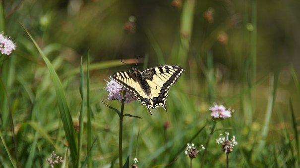 Butterfly, Dovetail, Meadow, Swallowtail Butterfly