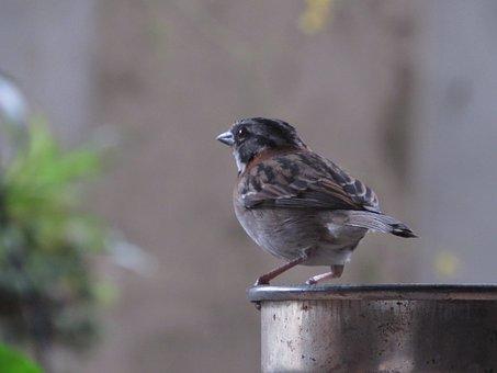 Sparrow, Gorrion, Looking, Garden, Bird, Nature, Animal