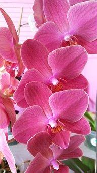Purple, Orchid, Blooms, Flower, Phalaenopsis