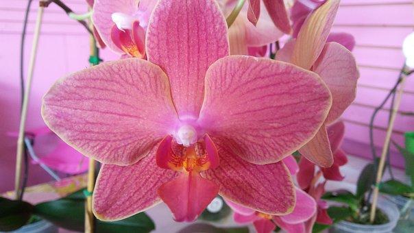 Pink, Orchid, Bloom, Flower, Phalaenopsis