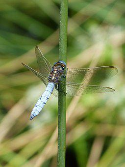 Dragonfly, Blue Dragonfly, Orthetrum Coerulescens