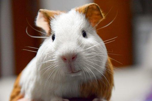 Animal, Pets, Guinea Pig, Netherlands Pig, Close-up