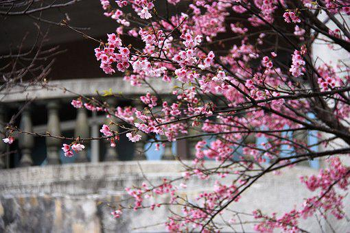 Cherry Blossoms, Fei Cold Cherry, Pink, Spring
