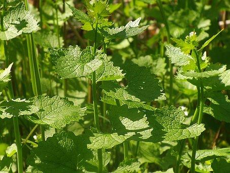 Garlic Mustard, Wild Herbs, Herbs, Green, Plant