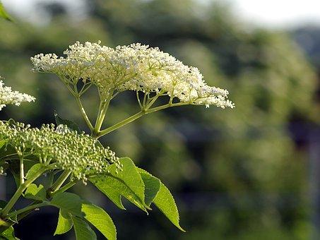Black, Flowers, Baldachy, Plant, Herbs, Healing, Health
