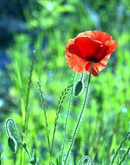 Poppy, Red, Flower, Single, Vertical