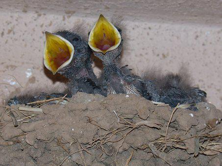 Chicks, Birds, Young, Nest, Eat, Hyip, Swallows
