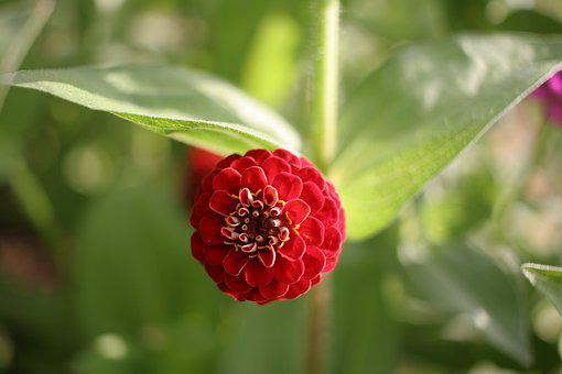Zinnia, Flower, Red, Nature, Blossom, Bloom, Garden