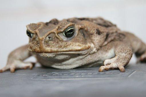 Bufo, Toad, Anfic, Sapito, Rough Skin, Bufo Bufo
