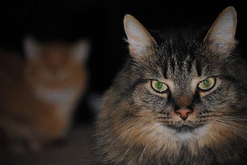 Cat, Face, Animal, Pet, Cute, Domestic, Kitten