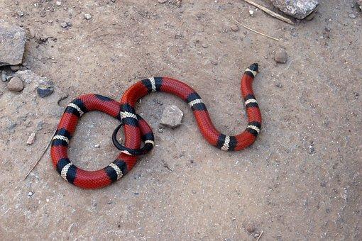 Snake, False Coral, Reptile