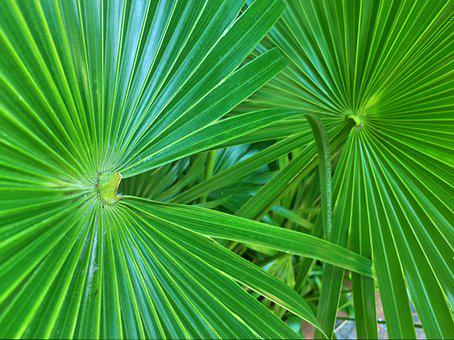 Palm Leaves, Fronds, Palm Trees, Palm, Leaf, Tropical