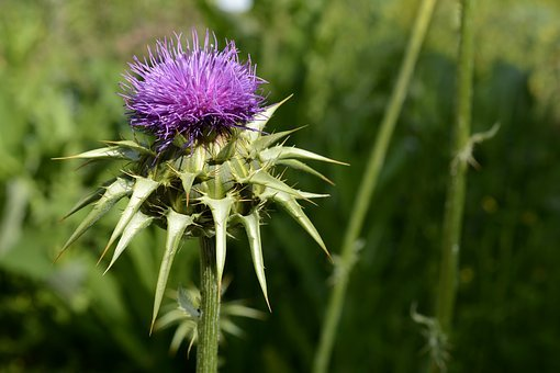 Milk Thistle, Plant, Nature, Thistle, Blossom, Bloom