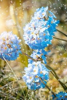 Primrose, Drumstick, Blossom, Bloom, Blue, Spring