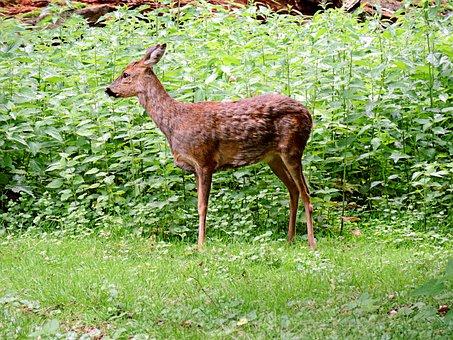 Roe Deer, Paarhufer, Mammal, Ricke, Forest, Fauna