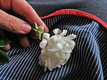 Rose, White Rose, Apron, Woman, Bloom, Shrub Rose