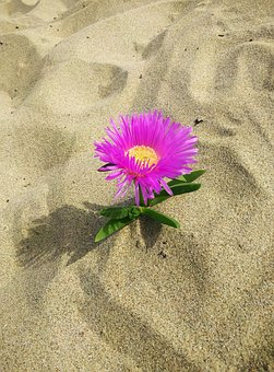 Flower, Sand, Beach, Pink, Solitary, Nature, Summer