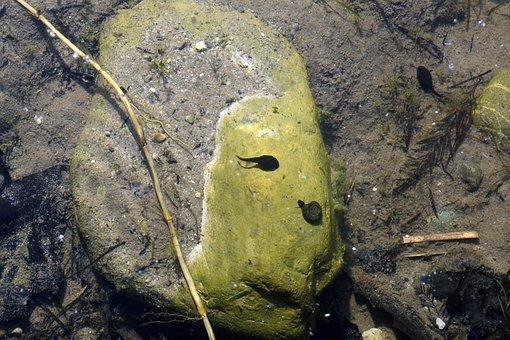 Tadpole, Water Snail, Underwater, Pond, Nature, Water