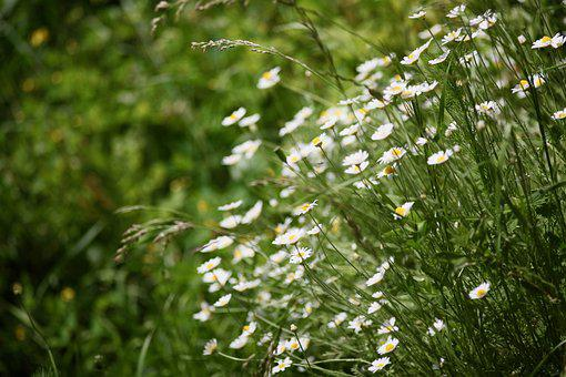Flowers, Nature, Meadow, Field, Tiny Flowers, White