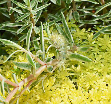 Virginia Tiger Moth Caterpillar, Yellow Wooly Bear