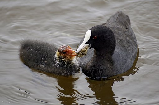 Coot, Waterfowl, Plumage, Nature, Waters, Bank