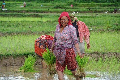 Kathmandu, Nepal, Asia, Rice, Planting, Fields, Women